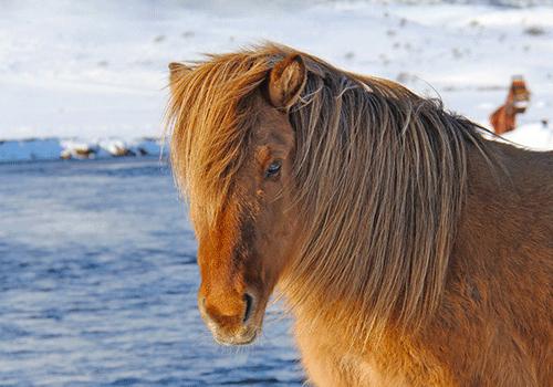 Iceland-pony