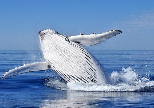 Cruise-Alaska-whale-breach